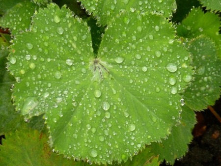 Lady s Mantle photo