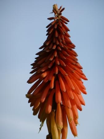 Red Hot Poker Flower photo