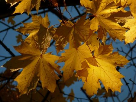 プラタナス: Yellow Sycamore Leaves