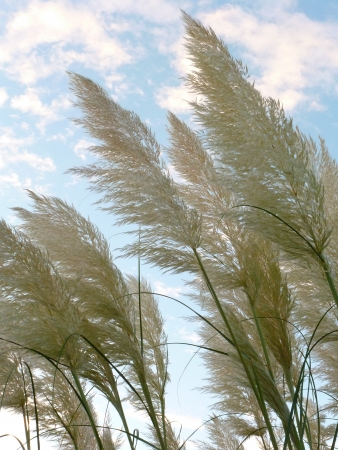 Pampas Grass Flowers Stock Photo - 17143295