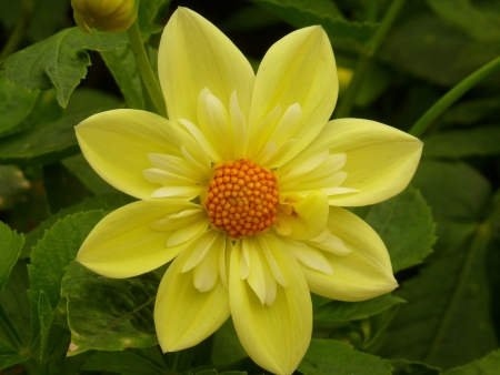 Yellow Dahlia Flower Stock Photo - 17419645