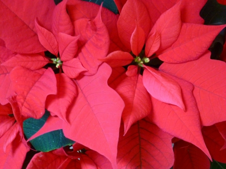 bracts: Pointsettia