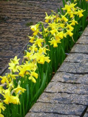 neighbours: Daffodil Hedge