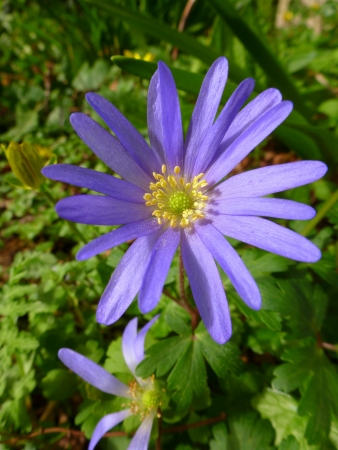anemone flower: Blu Anemone