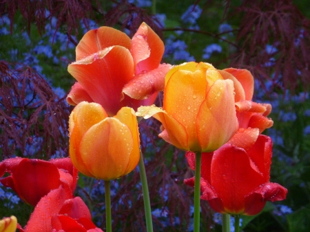Colourful Tulips in the Rain