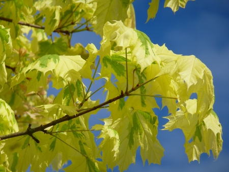 Harlequin Maple Foliage photo