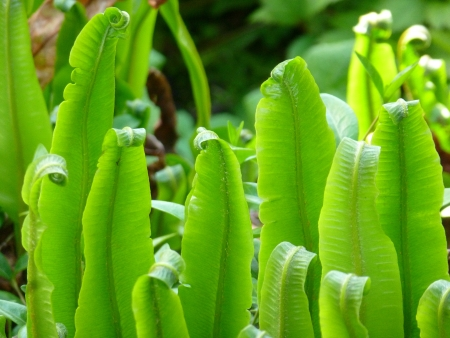 Hart s Tongue Fern photo