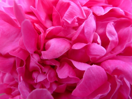 Pink Peony Close-up Stock Photo - 20415244