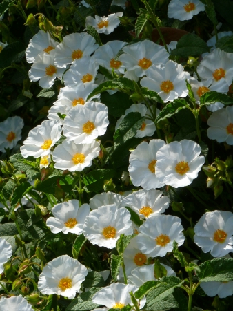 White Cistus Flowers Stock Photo - 20415290