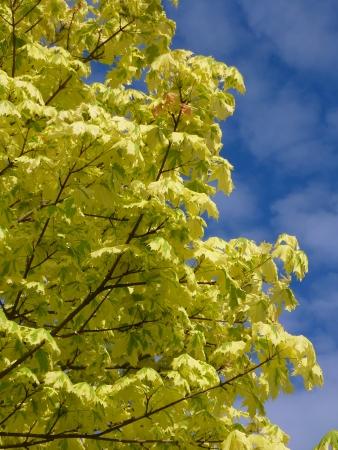 acer platanoides: Harlequin Maple