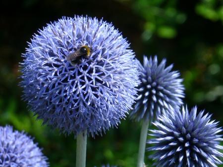 Globe Thistle Flowers