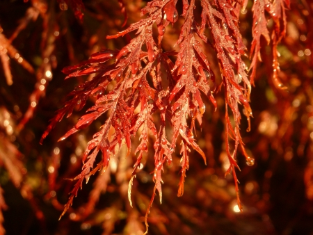 acer palmatum: Dew on Maple Leaves
