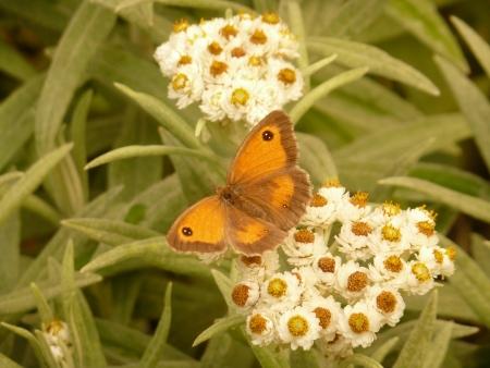 eyespot: Gatekeeper Butterfly Stock Photo