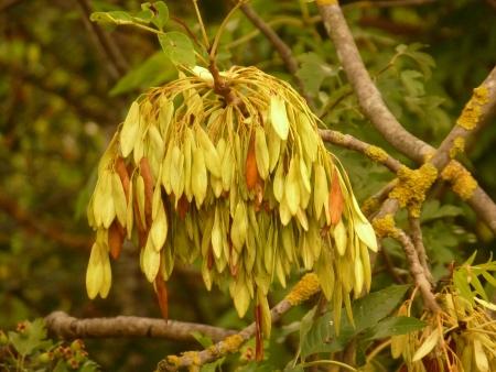 ash tree: Ash Tree Seeds