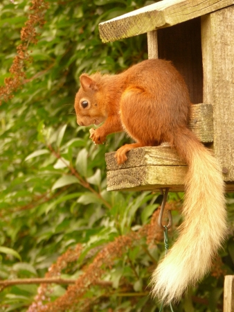 Red Squirrel photo