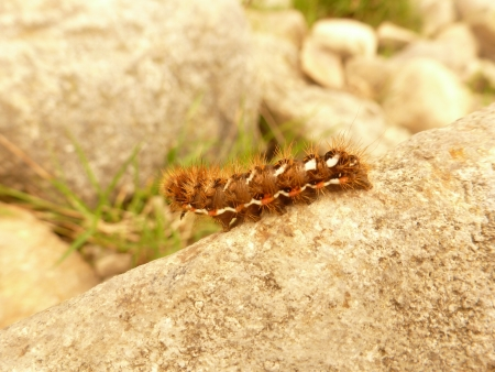 Knot Grass Moth Caterpillar photo