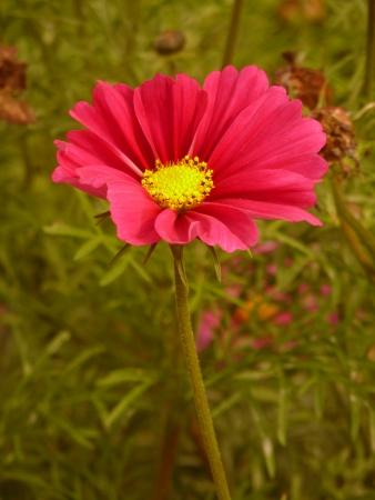uplifting: Pink Cosmos Flower