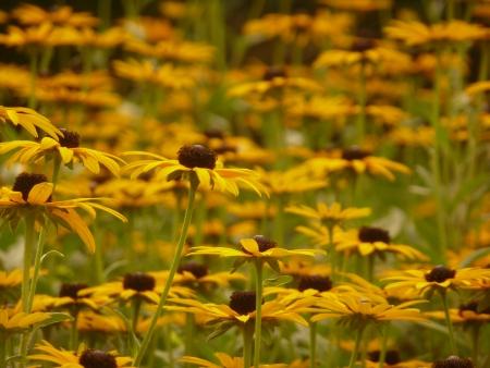 coneflowers: Yellow Coneflowers
