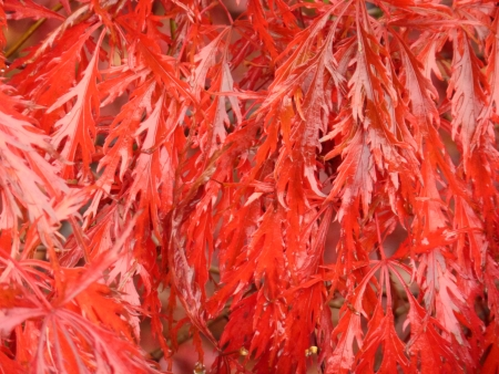 acer palmatum: Bright Red Laceleaf Maple Stock Photo