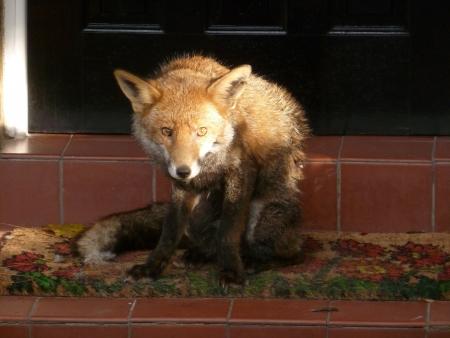 Fox on Doormat Stock Photo