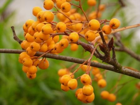 Yellow Rowan Berries Stock Photo