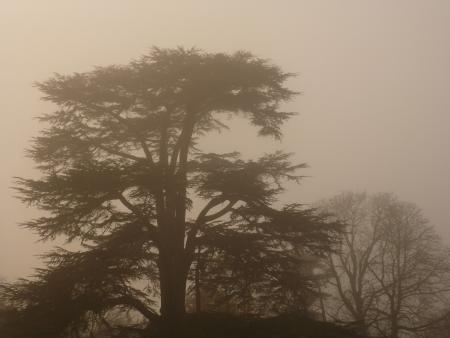 libani: Cedar of Lebanon Tree in Fog Stock Photo