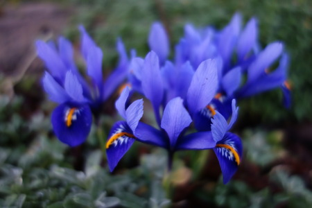 reticulata iris: Iris Reticulata Stock Photo