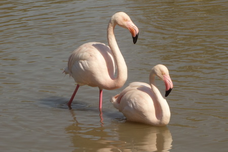 greater: Pair of Greater Flamingos Stock Photo