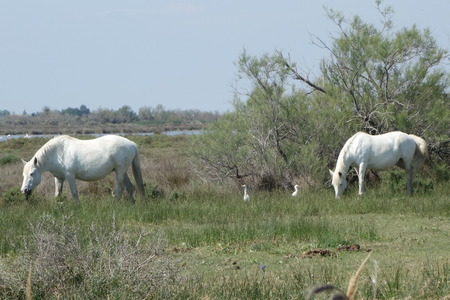 White Horses and Egrets photo