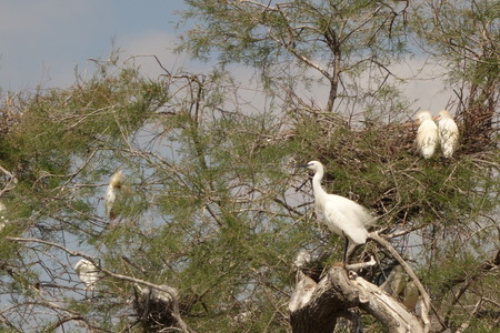 and egrets: Little Egrets Stock Photo