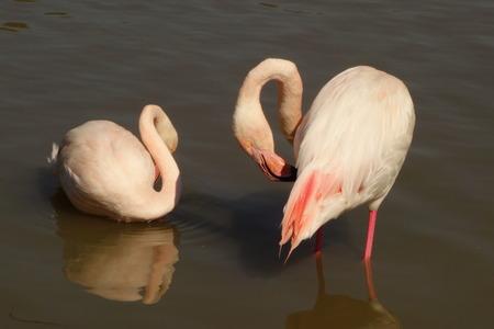 preening: Preening Flamingos