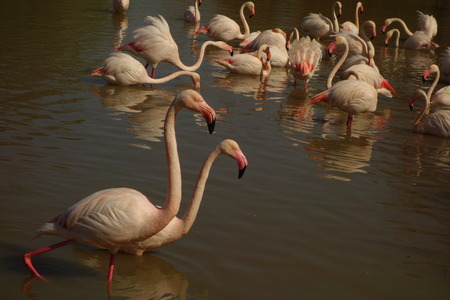 Greater Flamingos Stock Photo