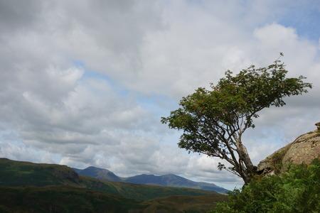 windswept: Windswept Rowan Tree