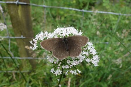 ringlet: Ringlet Butterfly