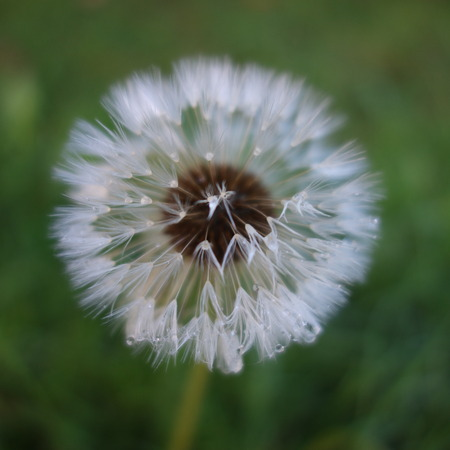 Dandelion Seed Head photo