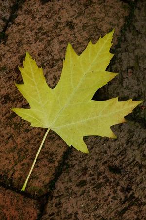 プラタナス: 黄色いプラタナスの葉 写真素材