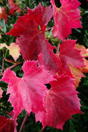 hojas parra: Hojas de vid roja