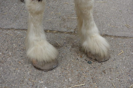 shire horse: Shire Horse Hooves