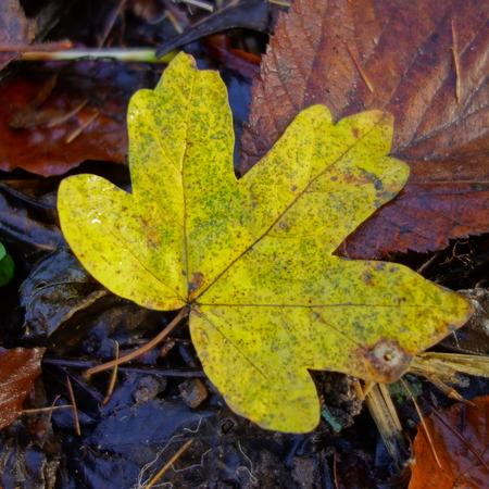 Yellow Field Maple Leaf photo