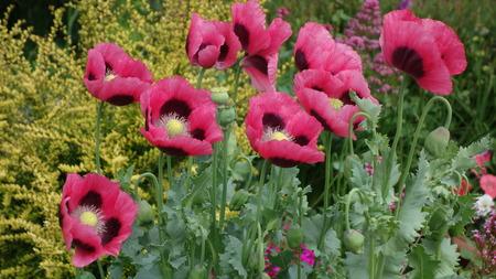 papaver: Oriental Poppies