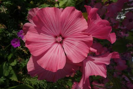 mallow: Rose Mallow Flower