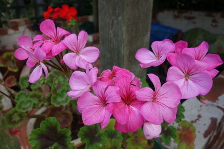 pelargonium: Pink Pelargonium Flowers