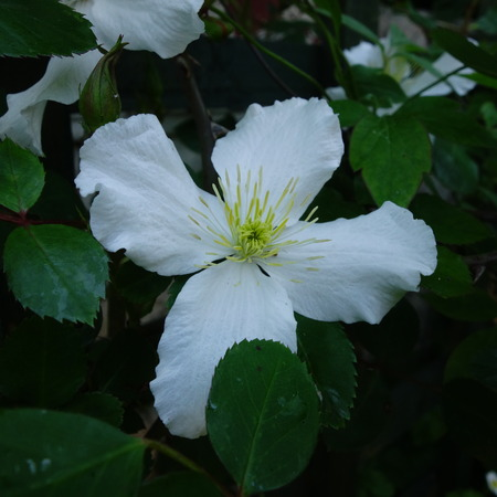 clematis flower: White Clematis Flower