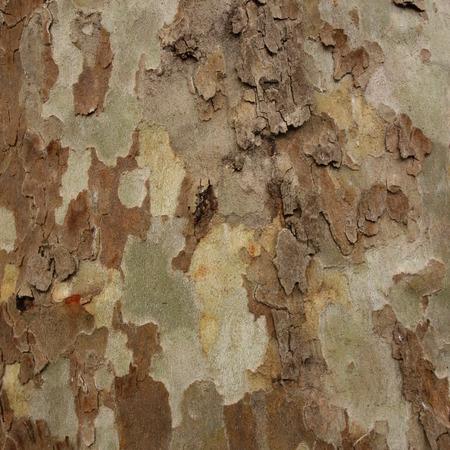 bark peeling from tree: London Plane Tree Bark Stock Photo
