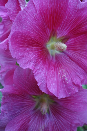 veining: Pink Hollyhock Flowers Stock Photo