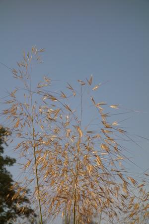 gigantea: Stipa Gigantea Flower Spikes