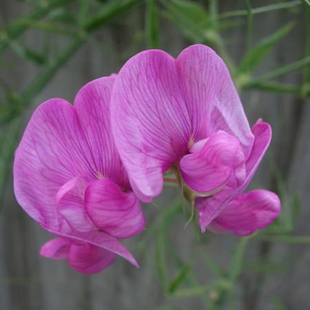 everlasting: Everlasting Sweet Pea Flower