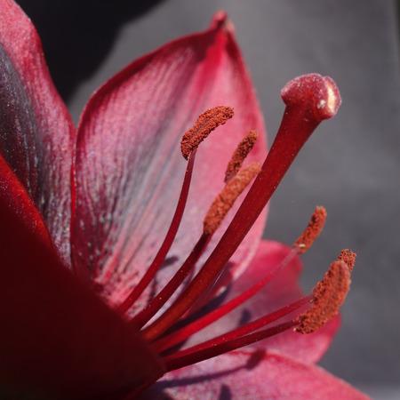 velvety: Dark Pink Lily Flower Stock Photo