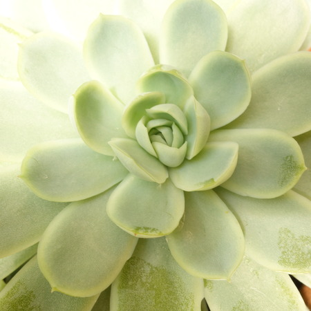 Pale Green Sempervivum