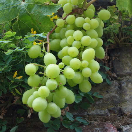 natue: Bunch of Grapes Stock Photo